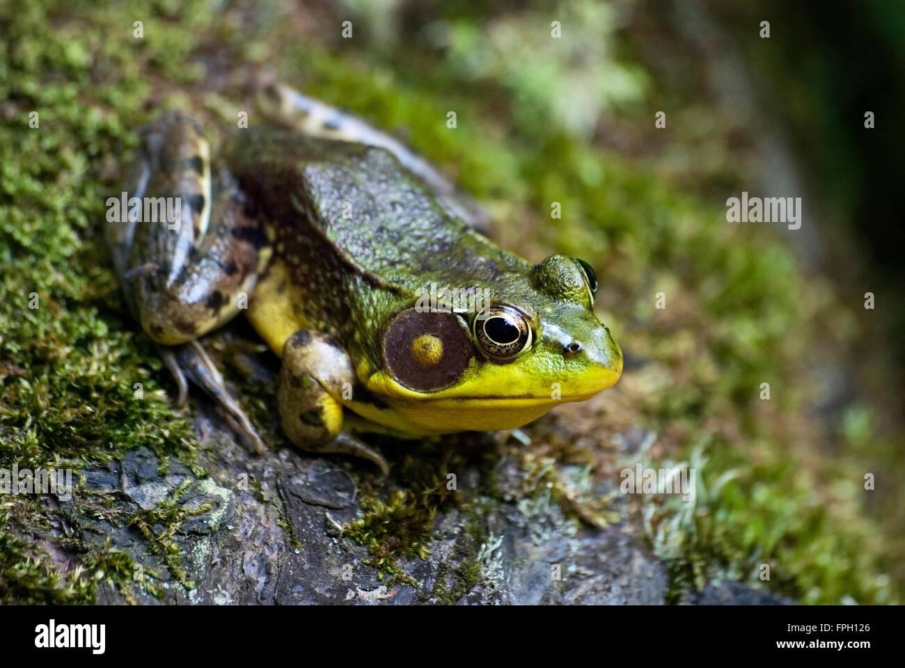 Grüner Frosch sitzt auf s Felsen mit Moos Stockbild