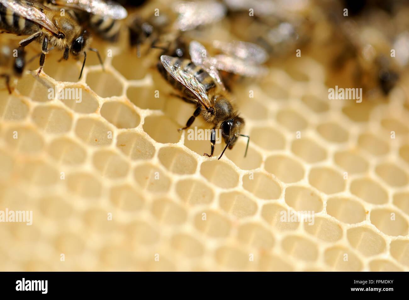 Nahaufnahme von den Arbeitsbienen auf honeycells Stockbild