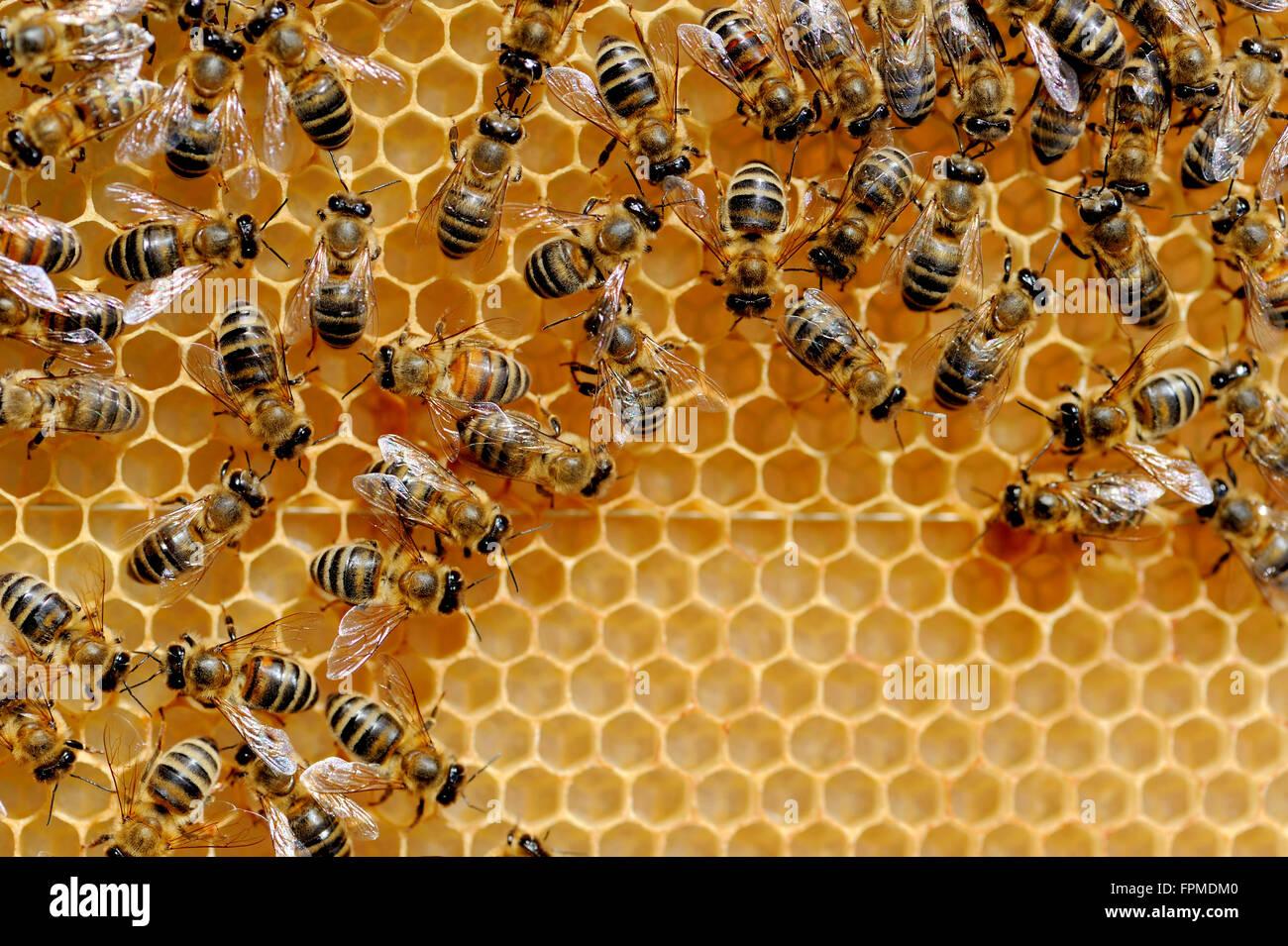 Nahaufnahme von den Arbeitsbienen auf Honigzellen Stockbild