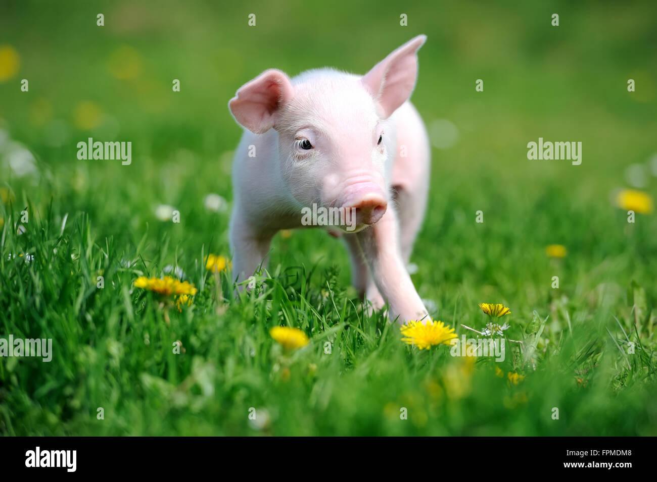 Junge Schwein ein Frühlingsgrün Gras Stockbild