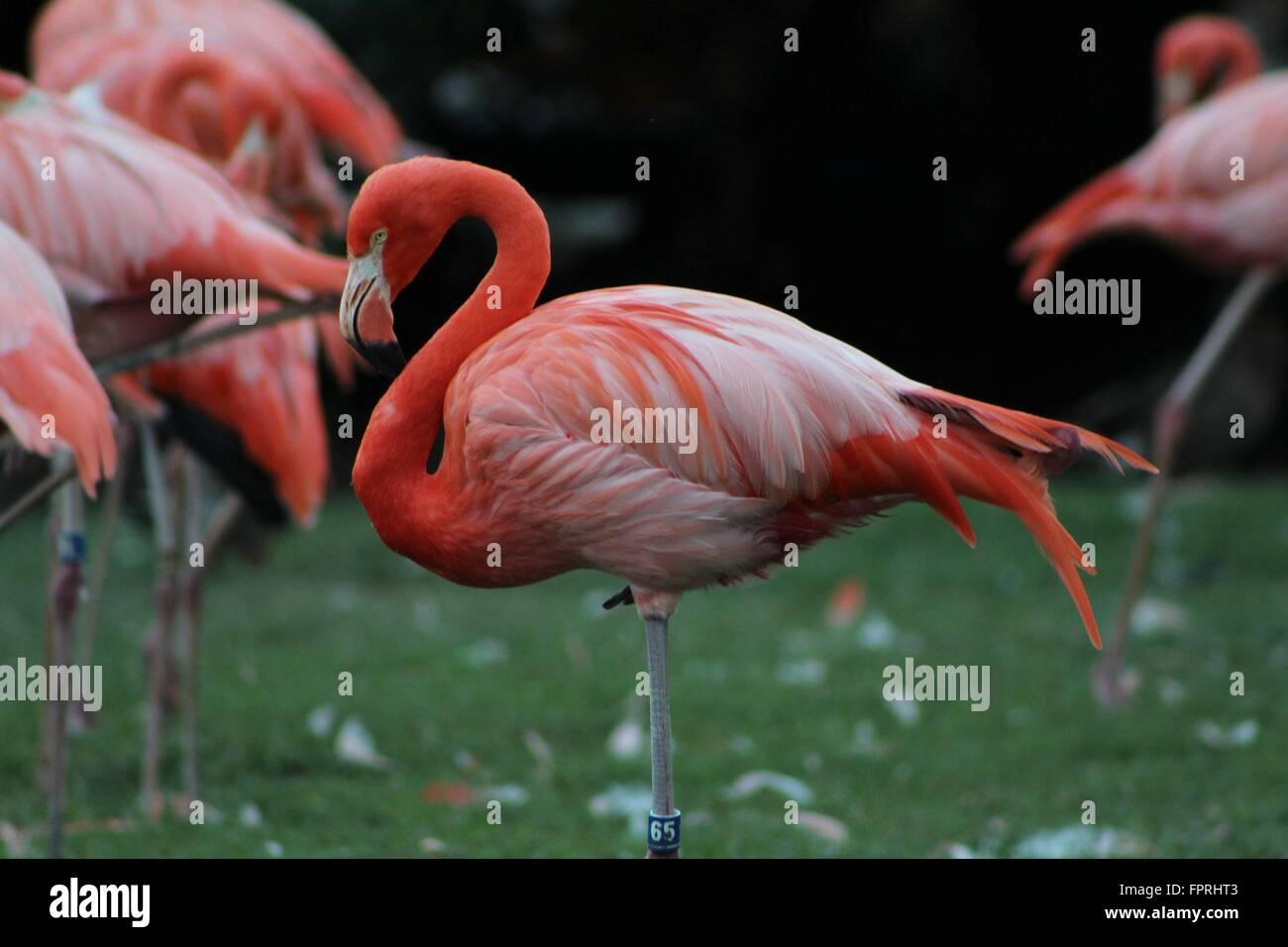 Flamingo in Tampa, Florida Stockbild