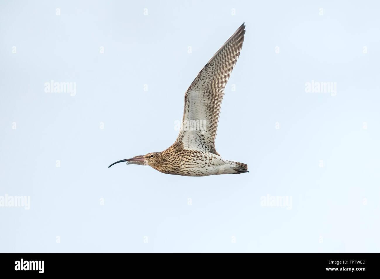Eurasische Brachvogel Numenius Arquata im Flug. Blauen Himmel im Hintergrund. Stockfoto