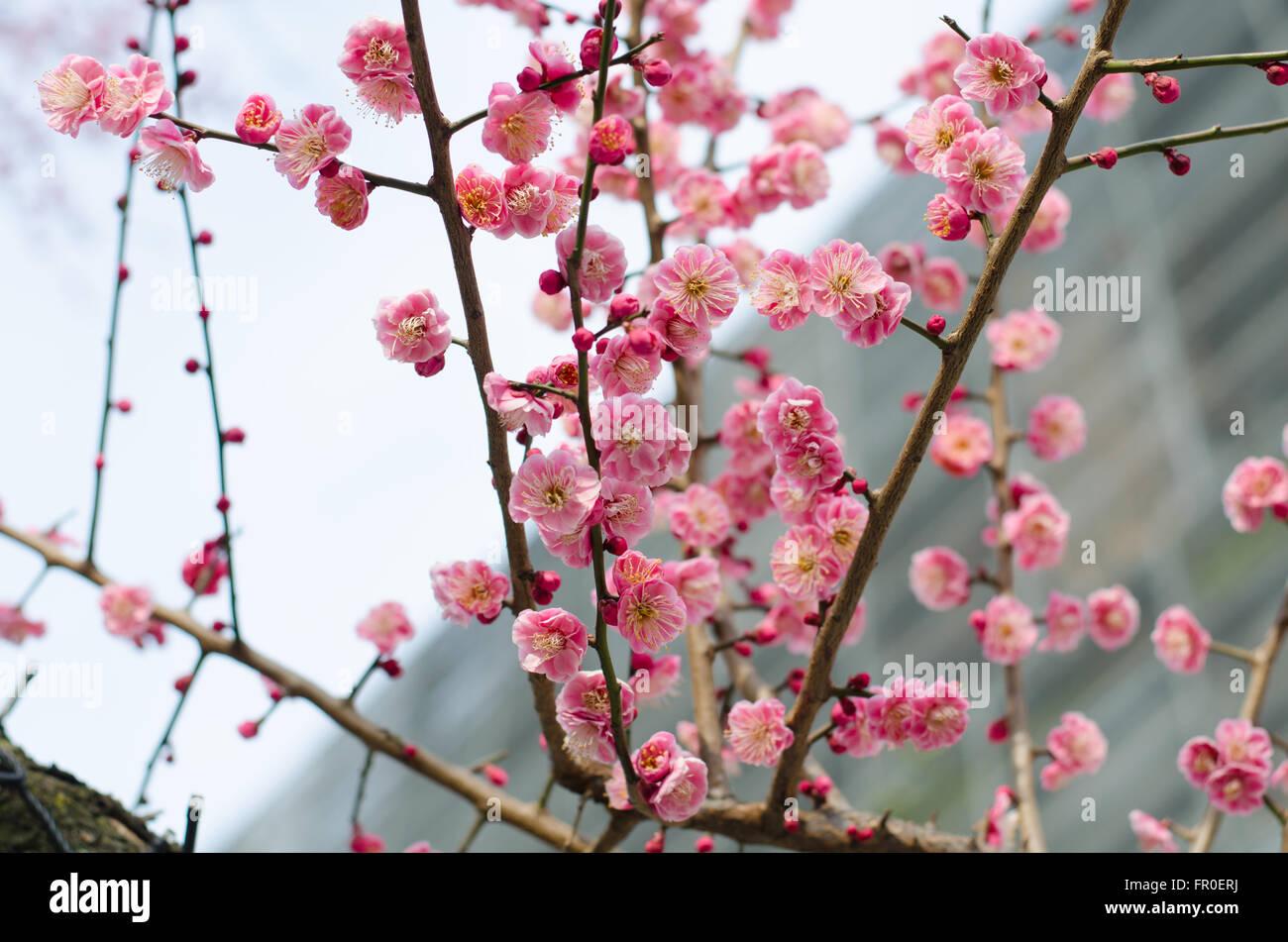 UME japanische Pflaumenblüte Stockbild