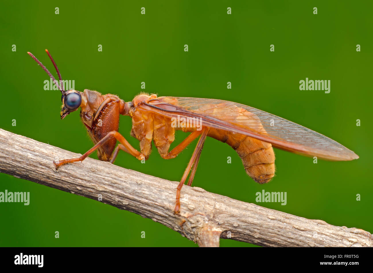 Mantis fliegen. Mantidflies Stockbild
