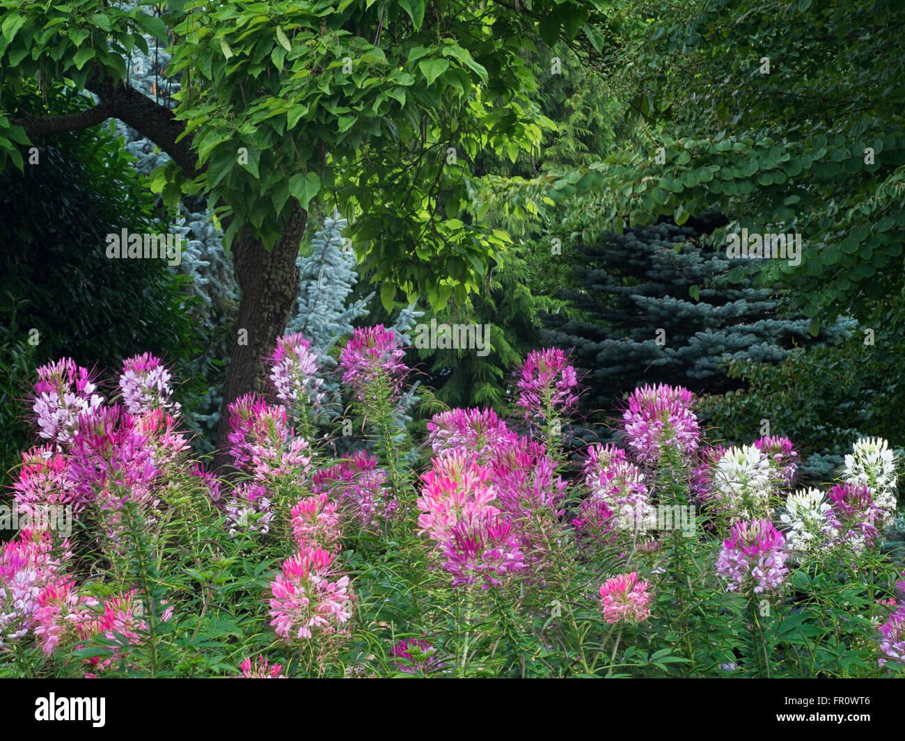 Cleome Wunderkerze erröten Blumen. Oregon Garten, Silverton, Oregon Stockbild