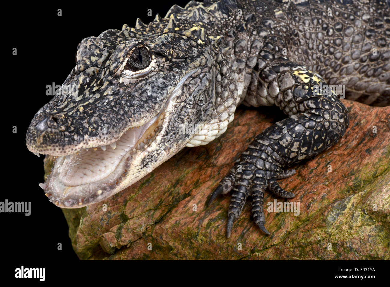 China-Alligator (Alligator Sinensis) Stockbild
