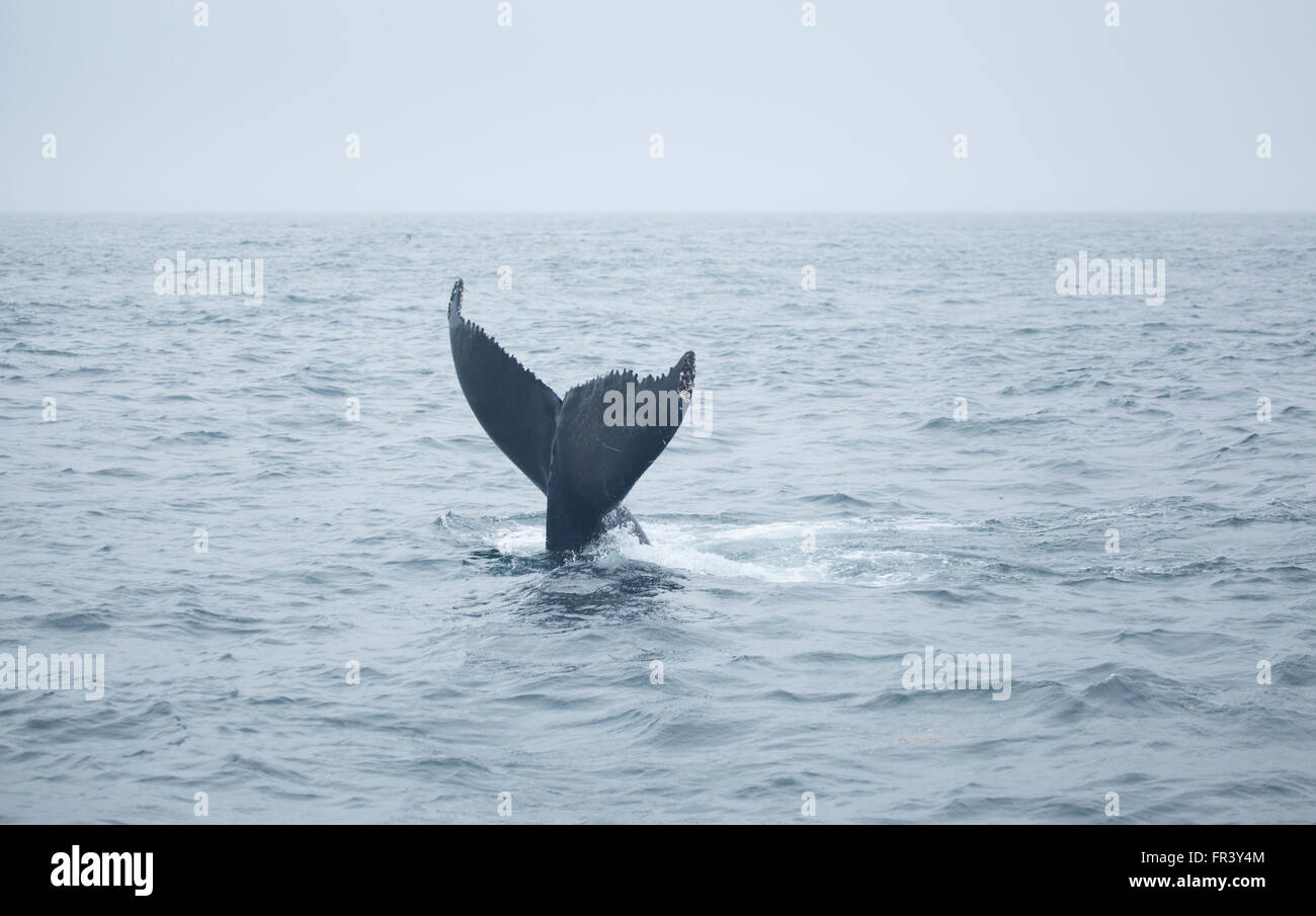 Whale Tail Buckelwale Ozean Bucht Tierwelt Meer Wale Wasser marine Naturbeobachtung Säugetier Splash Tierleben Stockbild