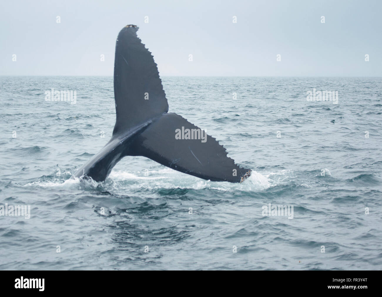 Humpback Whale Tail in Ozean Tauchen Stockbild