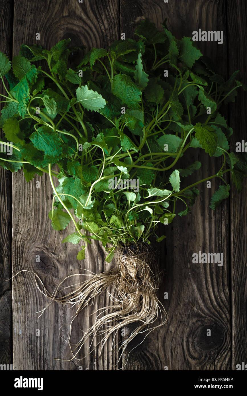 Grüne Minze mit Wurzeln auf einem Holztisch vertikale Stockbild