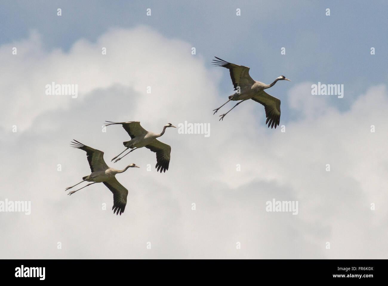 Kraniche (Grus Grus) in Thol Vogelschutzgebiet, Mehsana, Gujarat, Indien Stockbild