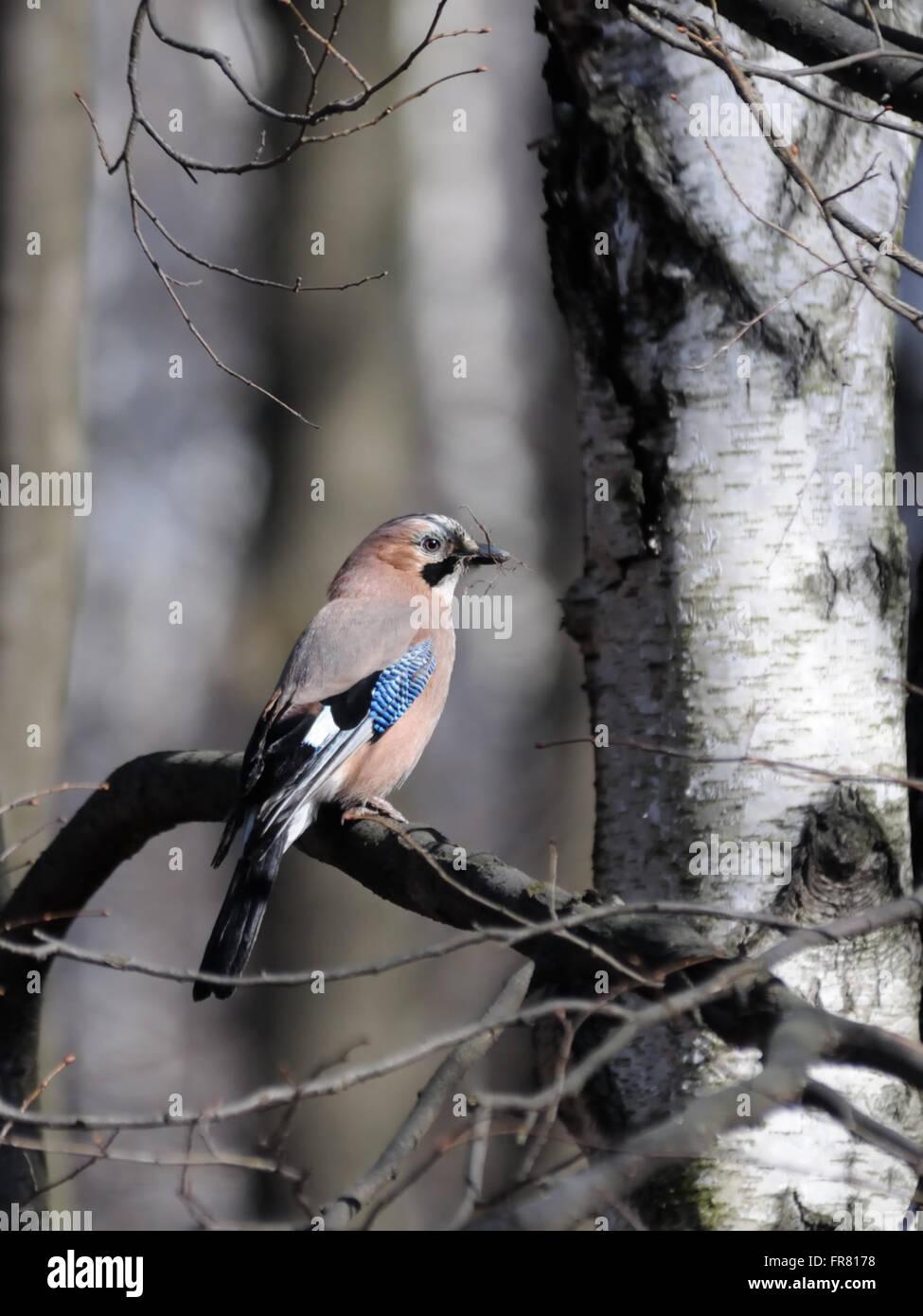 Eichelhäher mit Baumaterial für ein Nest im Frühjahr. Stockbild