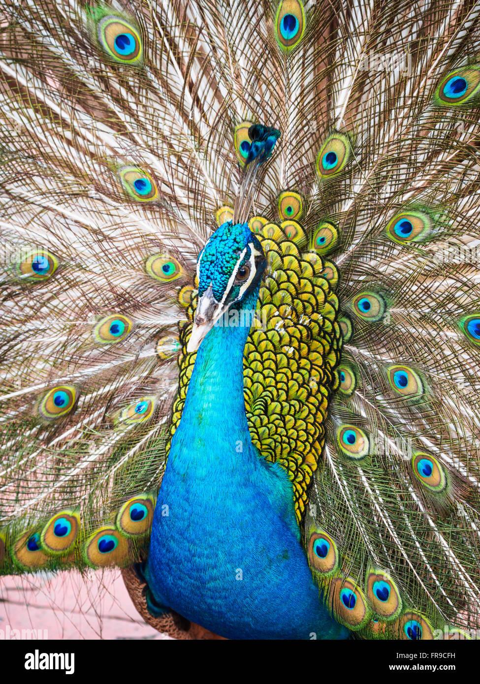 Männliche blaue Pfau (Pavo Cristatus) zeigt mit seinem Endstück angehoben Stockbild