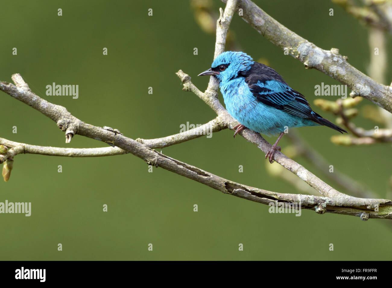 Sai-blau männlich thront auf AST RPPN Cristalino Stockbild