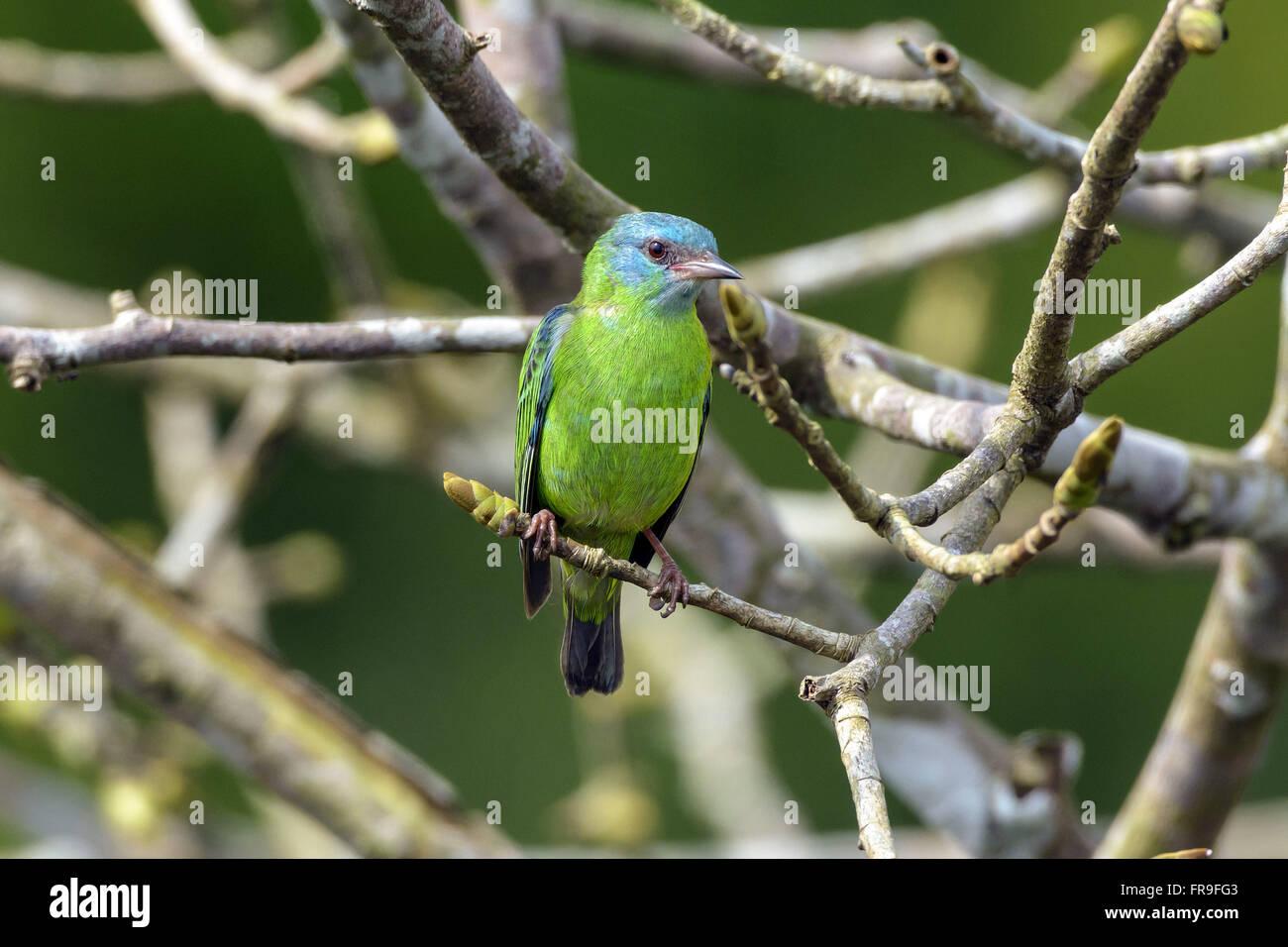 Sai-blau weiblich thront auf AST RPPN Cristalino Stockbild