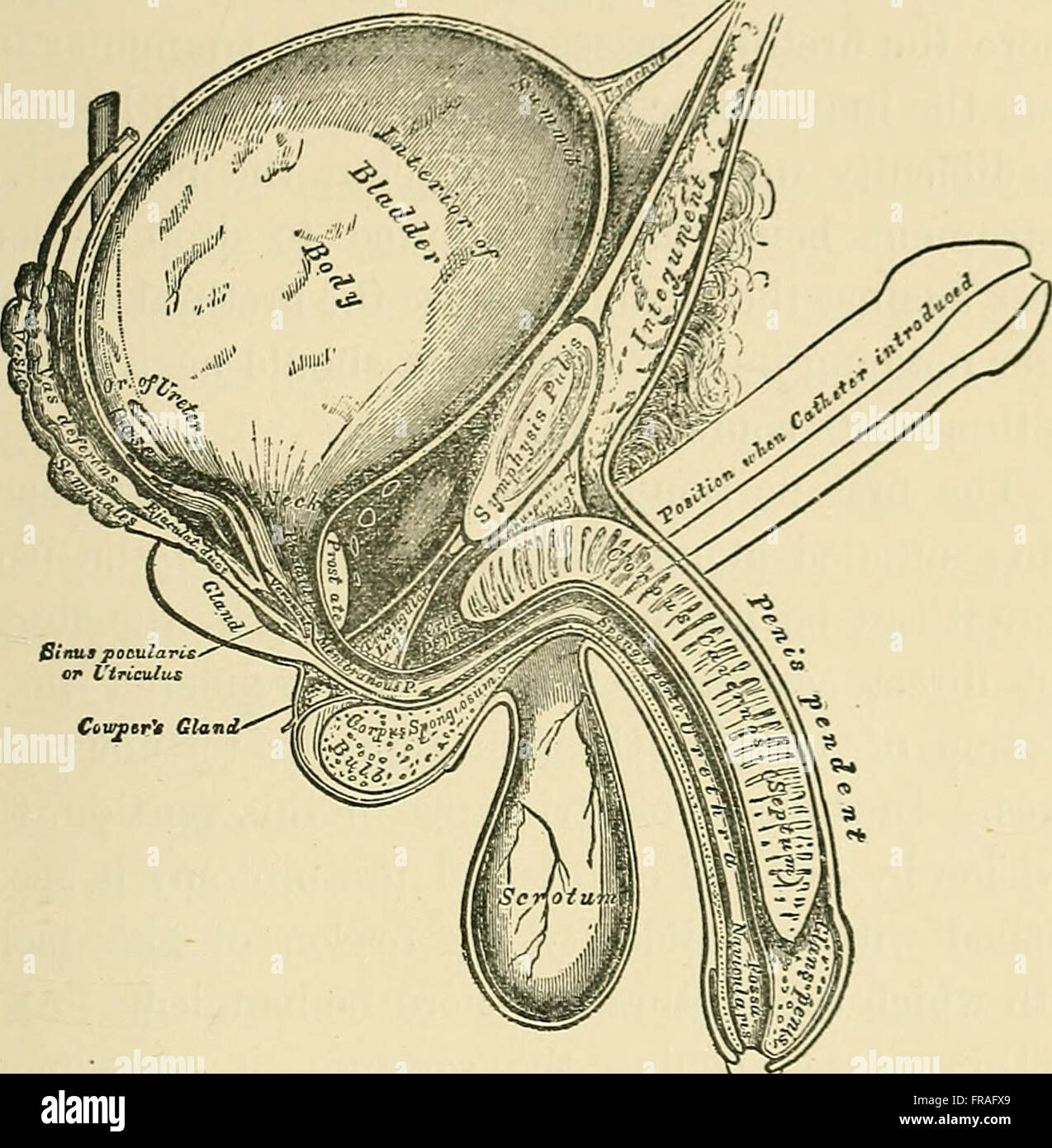 Ausgezeichnet Harn Systemfunktionen Ideen - Menschliche Anatomie ...