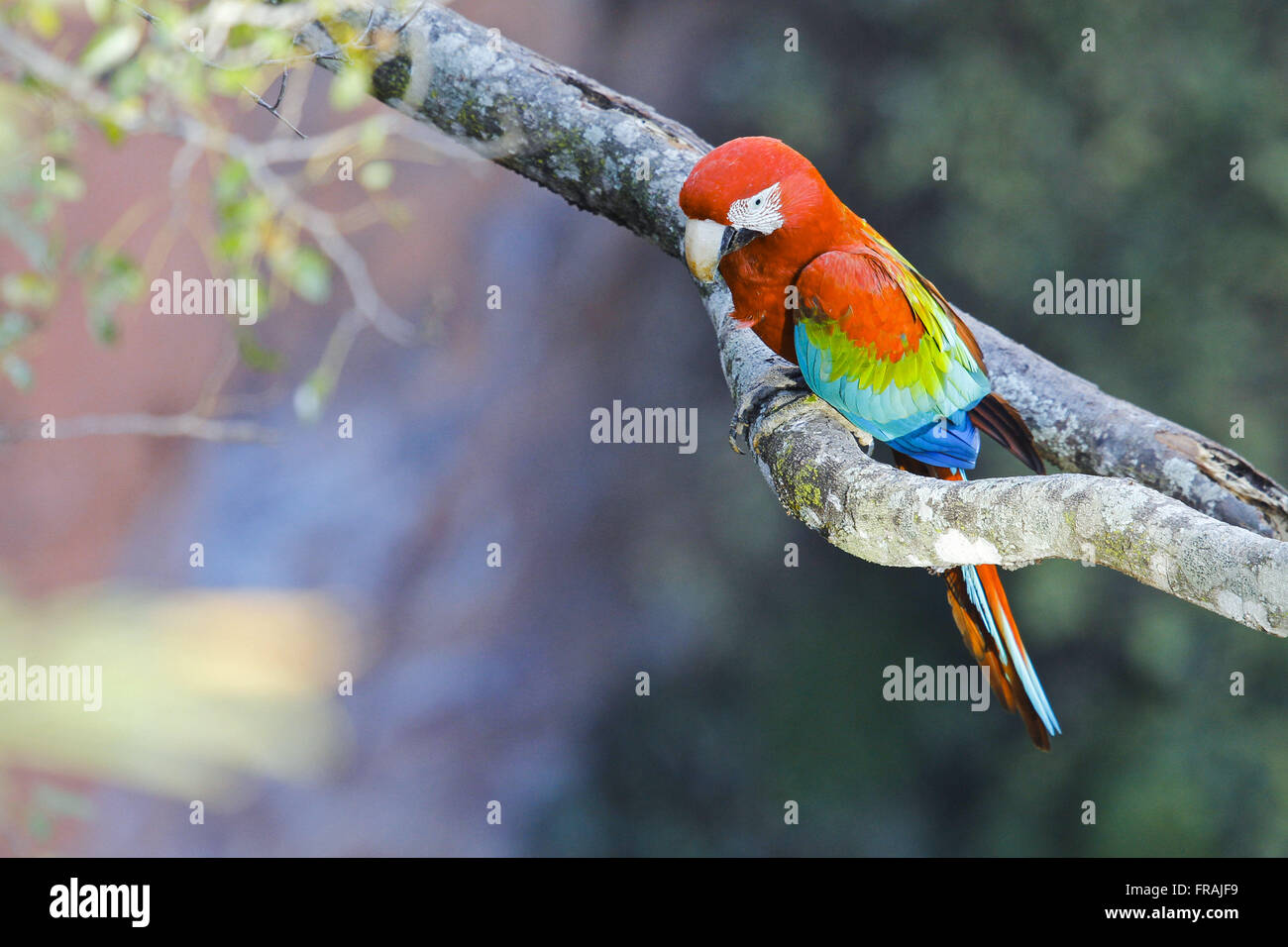 Scarlet Macaw Large - Ara Chloropterus Inn branch Stockbild
