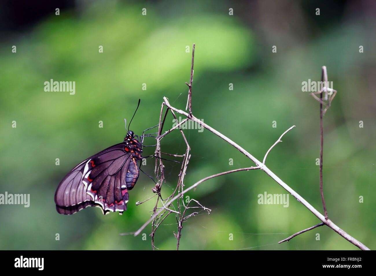 Schmetterling thront auf Toten Ast Stockbild