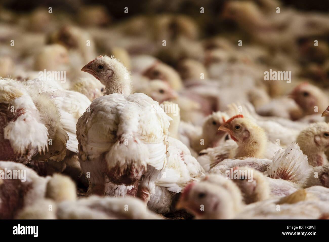 Erstellung von Huhn zur Schlachtung Stockbild