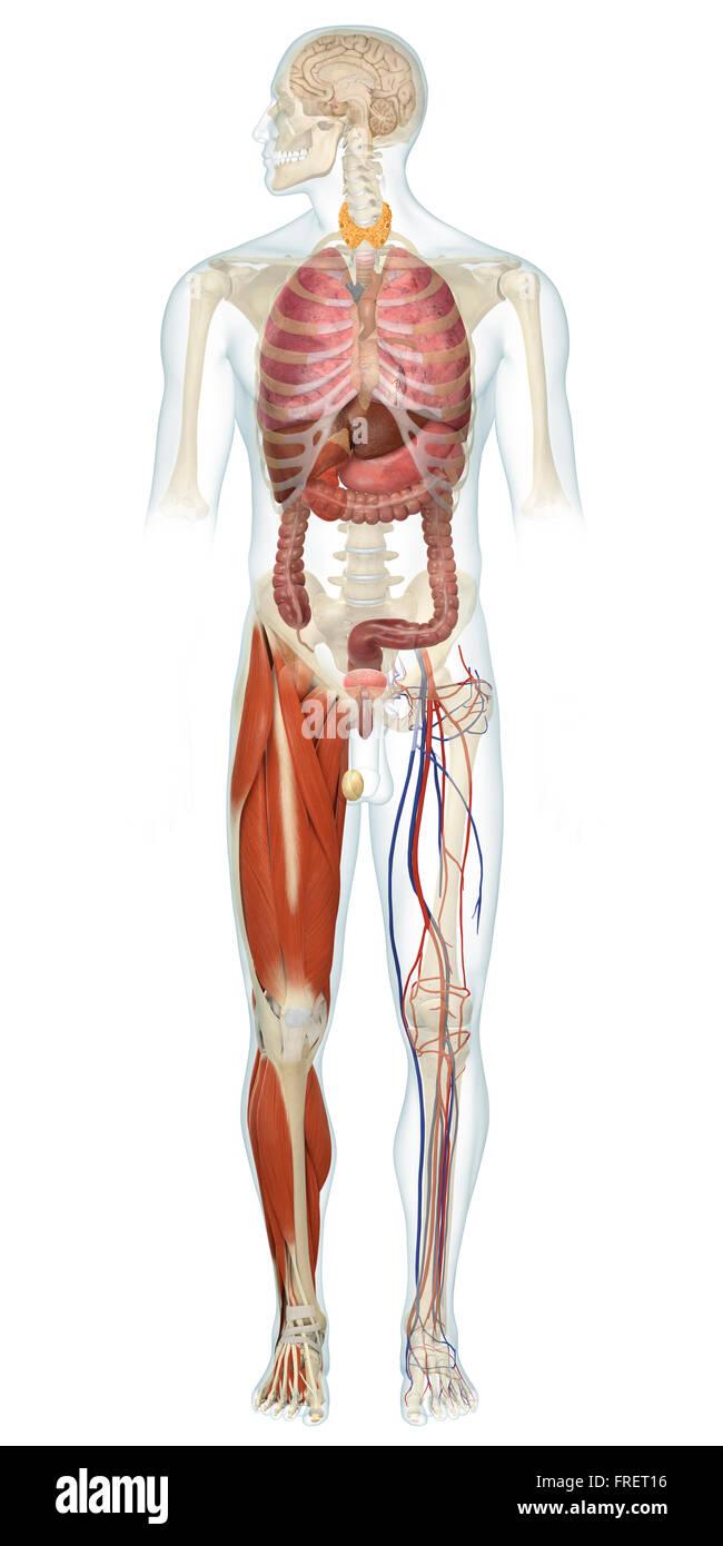 Atemberaubend Endokrine Drüsenfunktion Fotos - Menschliche Anatomie ...