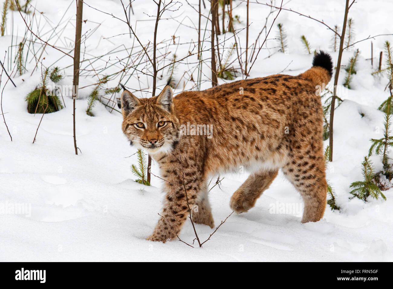 Eurasischer Luchs (Lynx Lynx) Jagd in der Taiga im Schnee im winter Stockbild