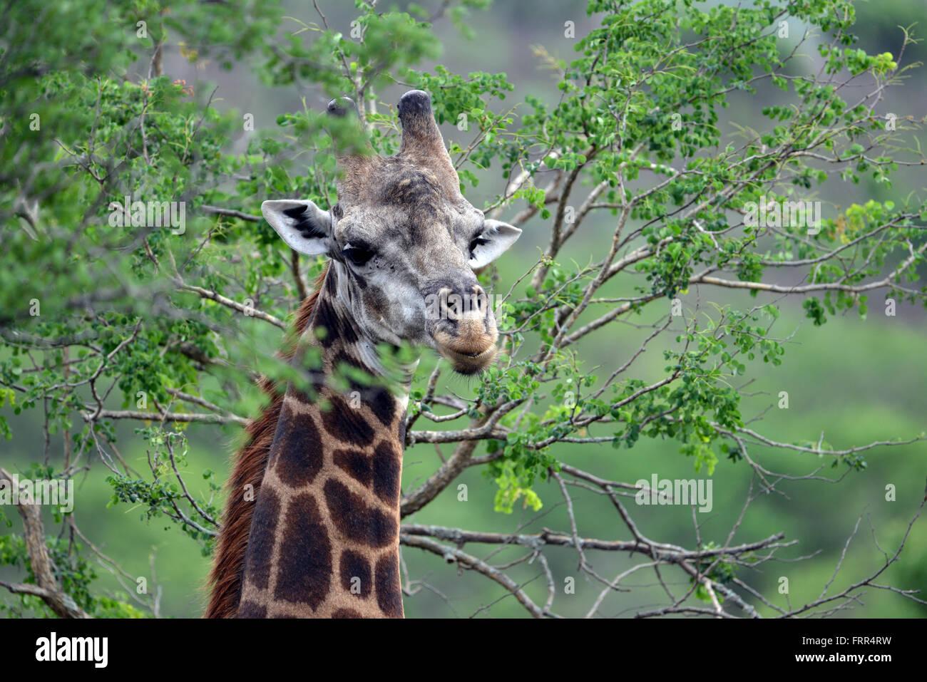 Erwachsenen Giraffe gesehen auf einer Pirschfahrt im Thanda Private Game Reserve, Kwa-Zulu Natal, Südafrika Stockfoto