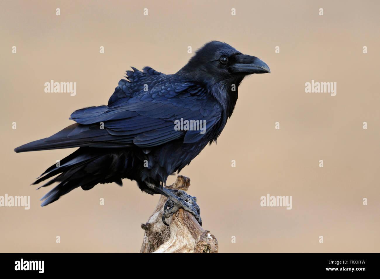 Kolkrabe / Kolkrabe (Corvus Corax), beeindruckende Erwachsener, thront vor reinigen Hintergrund aufmerksam beobachten. Stockbild