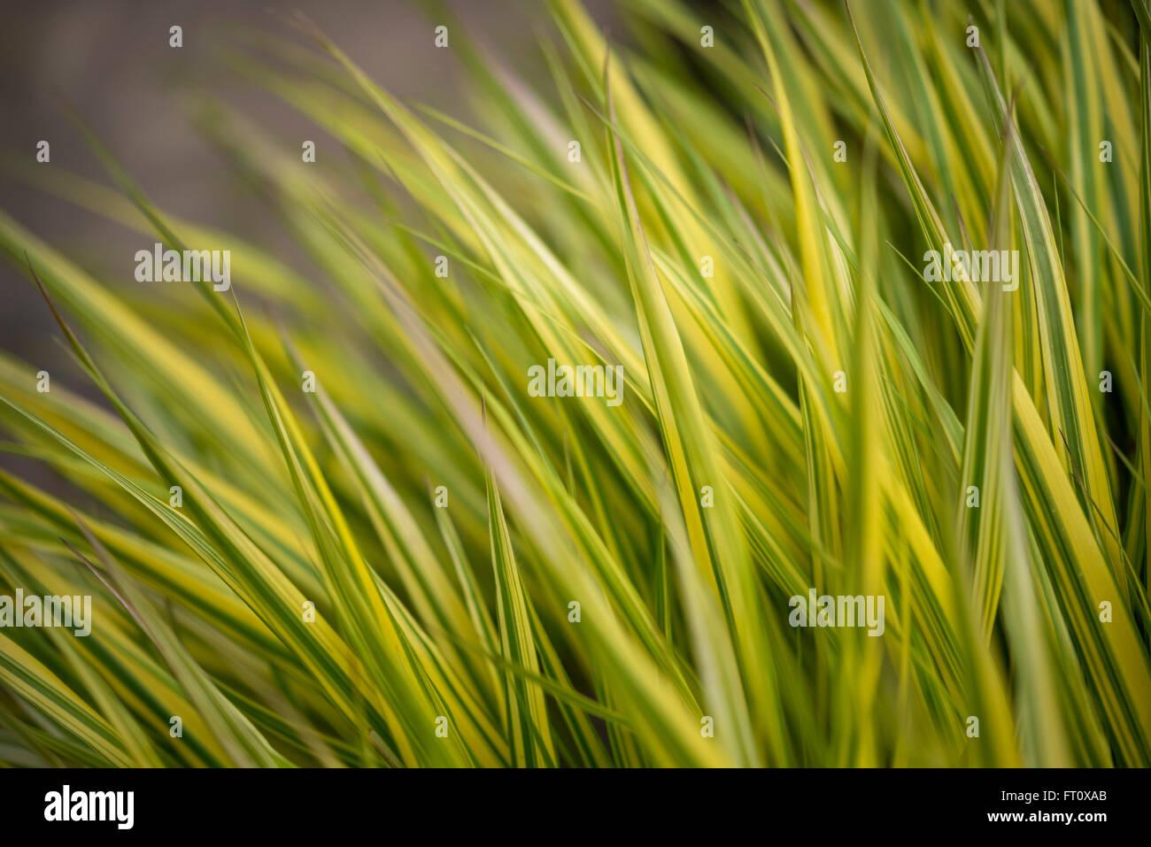 Hakonechloa Macra 'Aureola' gesehen Nahaufnahme. Golden bunten Rasen. Stockbild