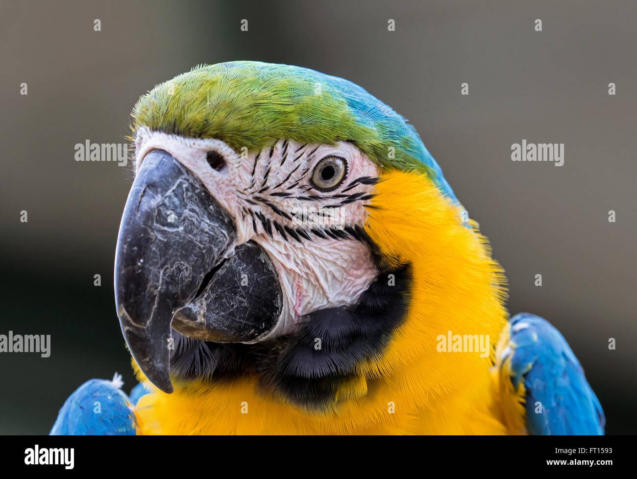 Ara Papagei Stockbild
