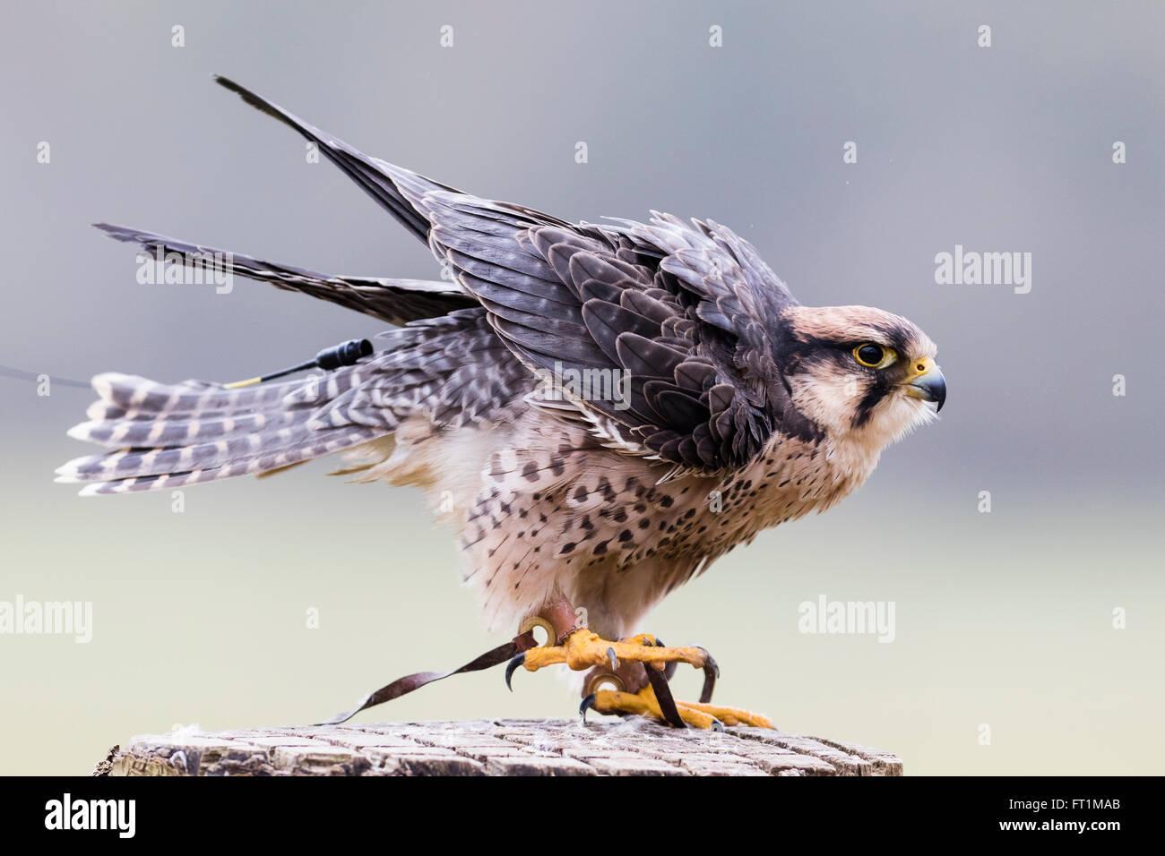 Ein Falke Lanner (Falco Biarmicus) bei zündeten Falknerei Zentrum Gloucestershire Stockbild