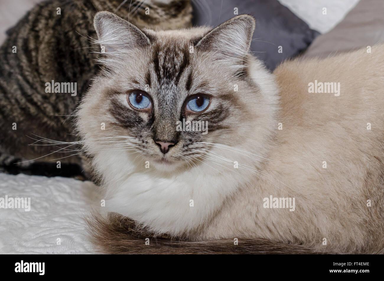 Chatte Ragdoll et chatte européenne Stockbild