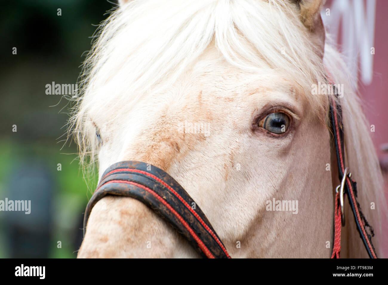 Ribadesella, Spanien. 25. März 2016. Ein Pferd nach dem Pferd Rennen in Santa Marina Beach am 25. März Stockbild