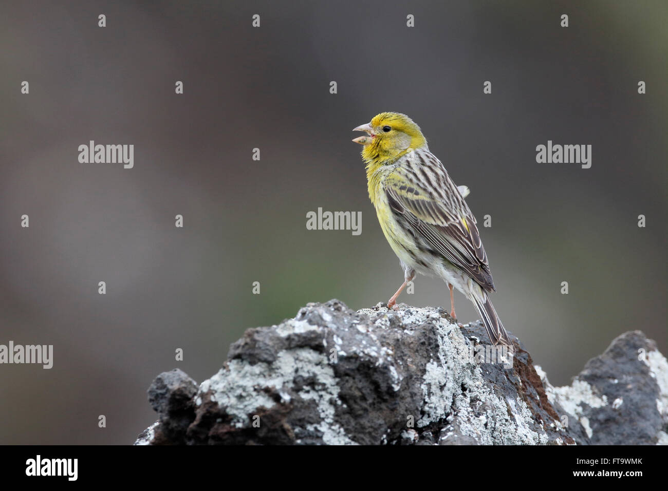Atlantik Kanarische, Serinus Canaria, einziger Vogel auf Felsen, Madeira, März 2016 Stockbild