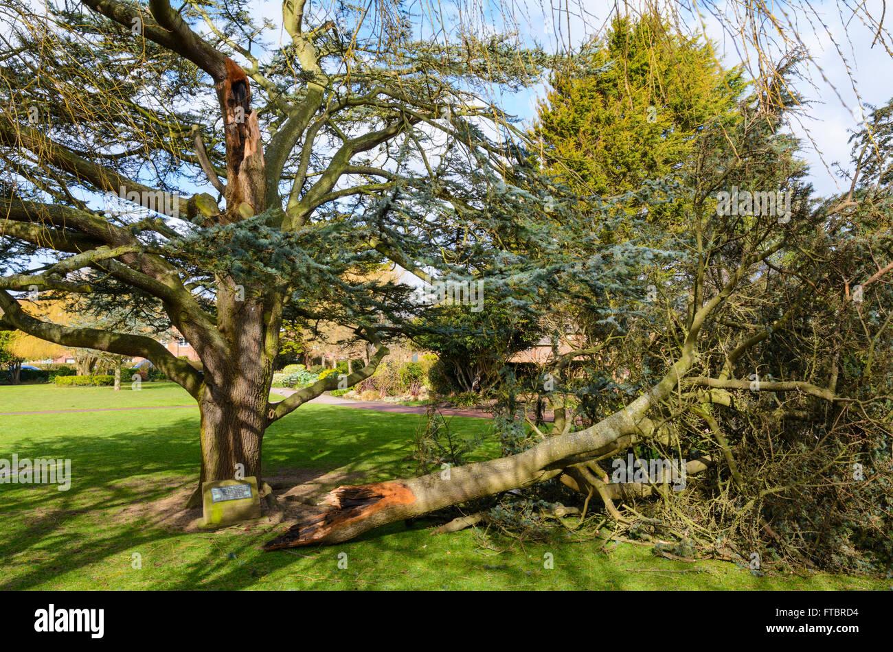 Ast eines Baumes abgebrochen aus dem Hauptstamm während der Stürme im südlichen England, UK. Stockbild
