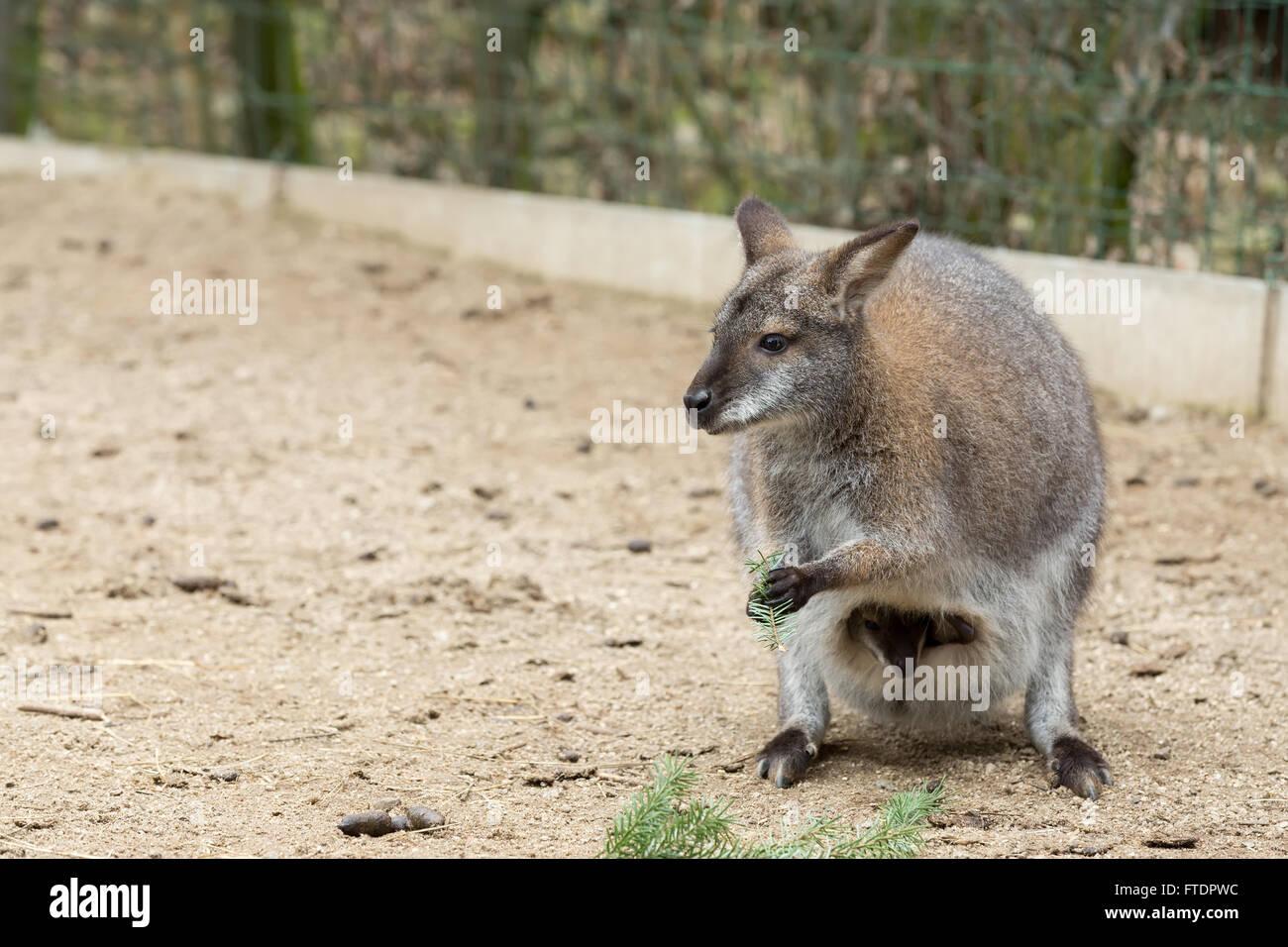 Niedlich Baby Känguru Färbung Seite Zeitgenössisch - Entry Level ...