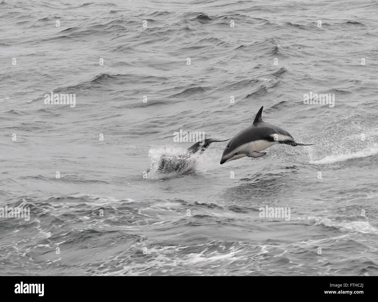 Dusky Delphine (Lagenorhynchus Obscurus) aus dem Meer springen. Drake-Passage, Süd-Atlantik. Stockbild