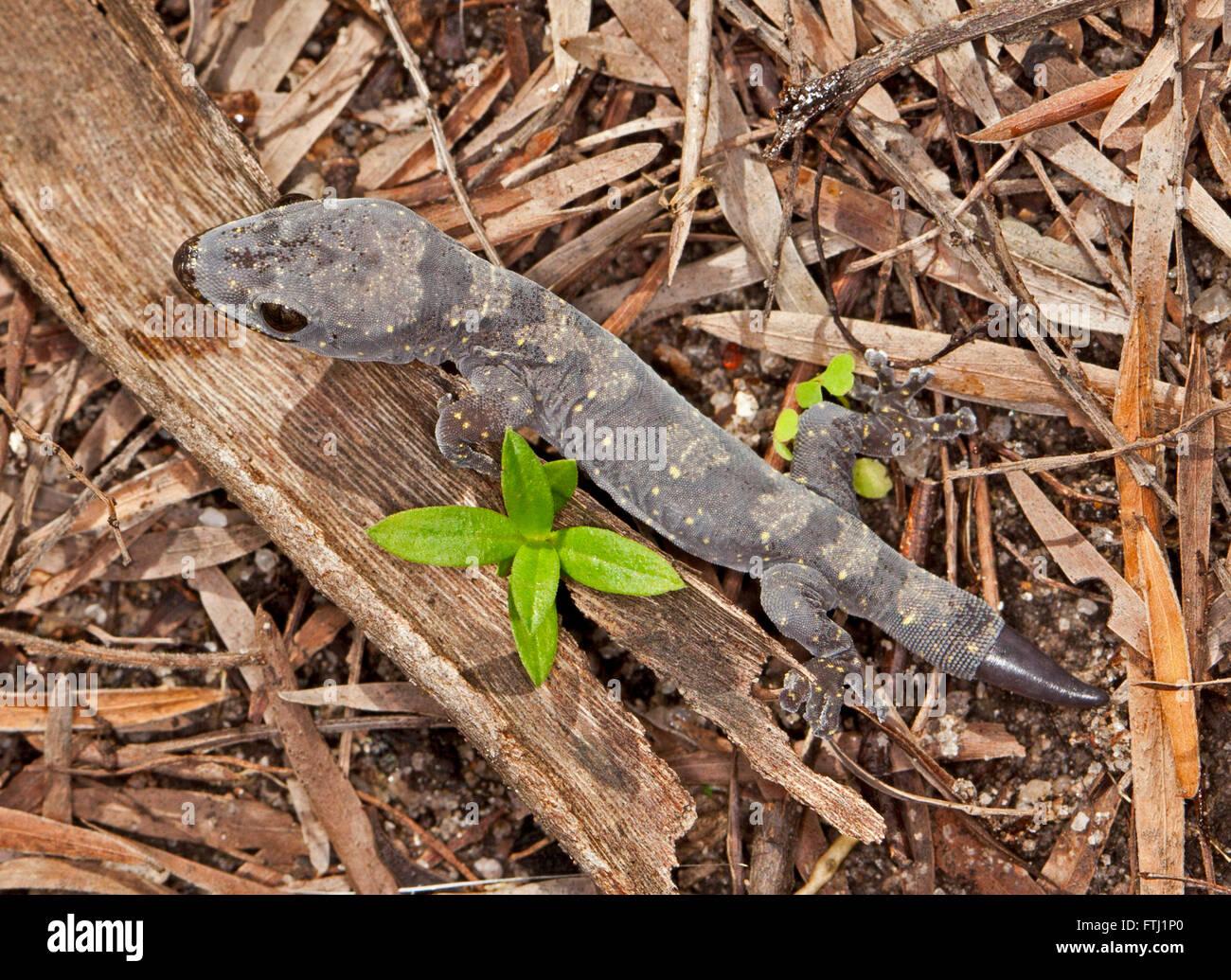 Schöne junge australische Gecko mit grau gemusterten Körper & neue Rute nachwachsende nach Schaden Stockbild