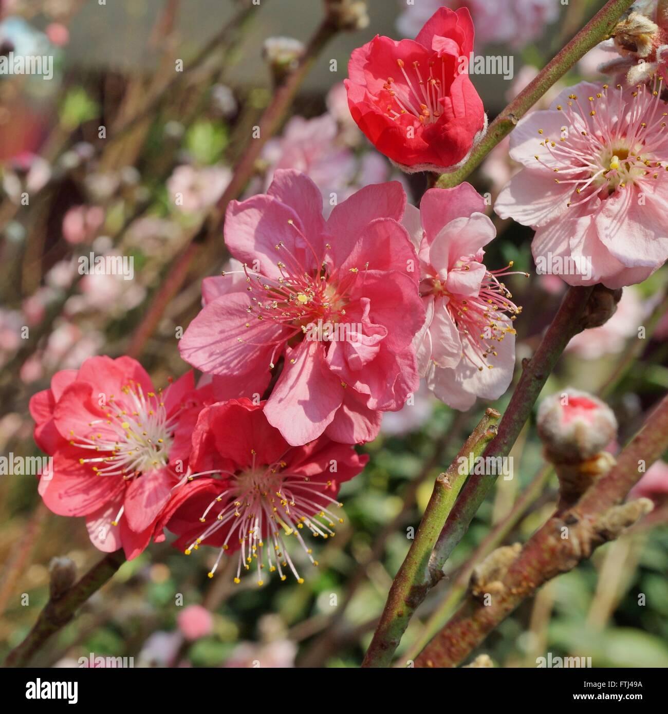 Rosa Blume blüht der japanischen Ume Aprikose Baum, Prunus mume Stockbild