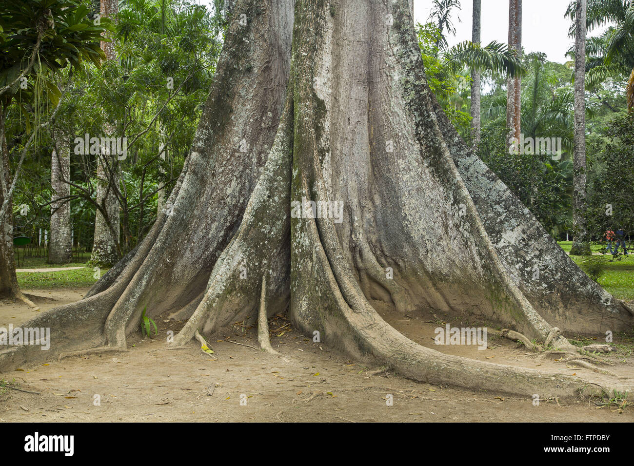 ceiba tree stockfotos ceiba tree bilder alamy. Black Bedroom Furniture Sets. Home Design Ideas