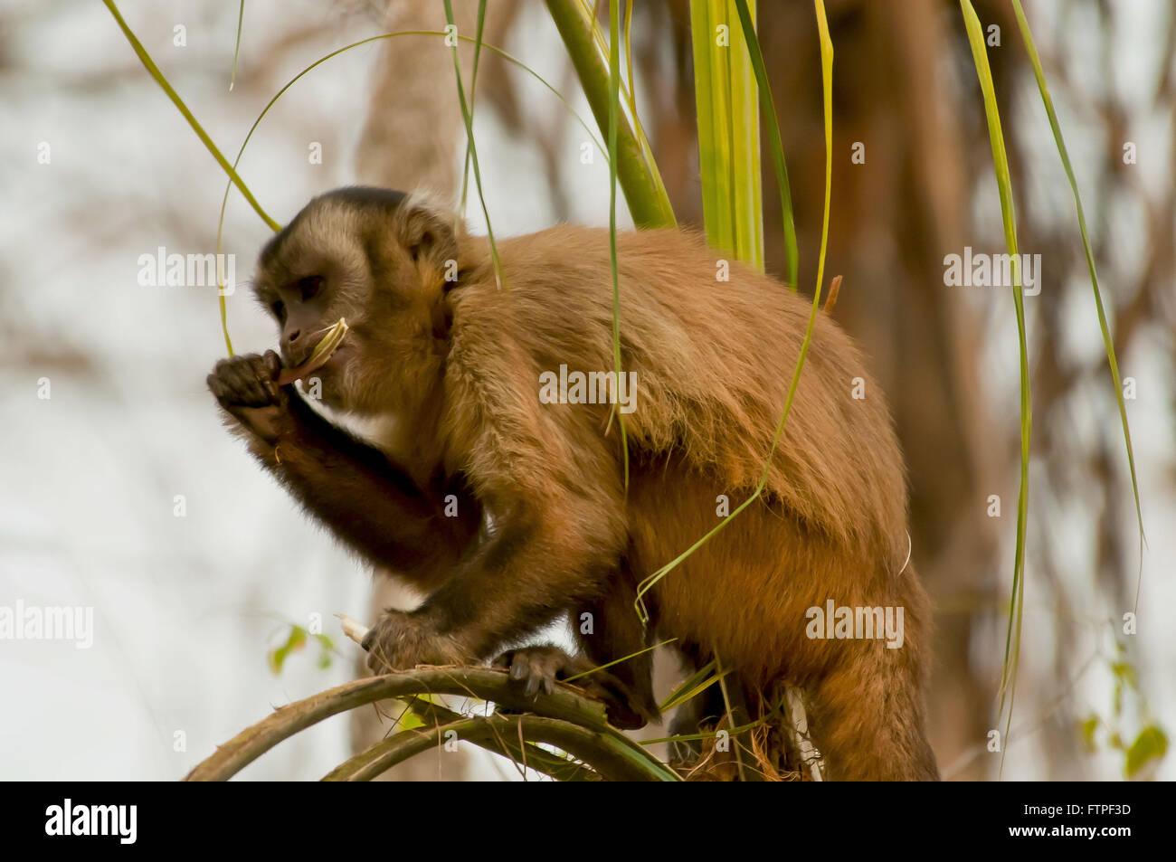 Kapuziner-Affen füttern auf Ast im Pantanal - Cebus Stockbild