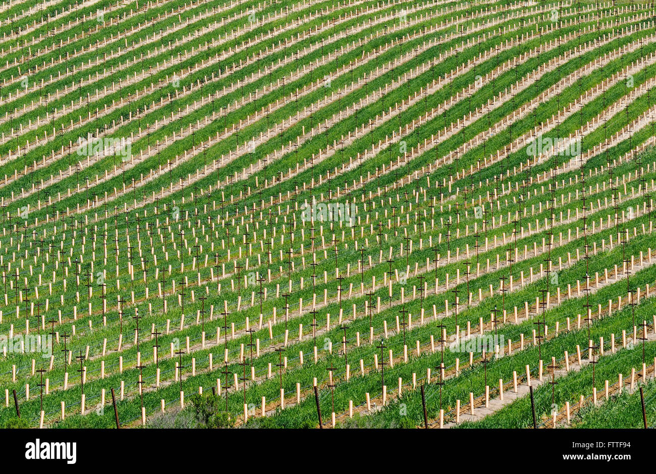 Vor kurzem gepflanzt Weinberg Stockbild