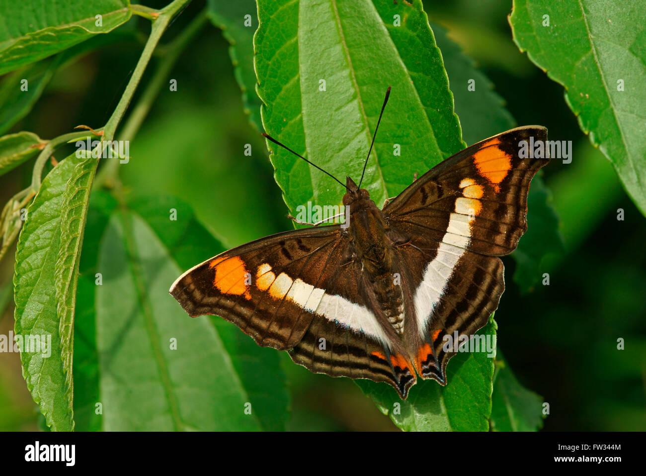 Nymphalidae (Nymphidae) tropischer Schmetterling (Doxocopa Linda), Iguazú Nationalpark, Paraná, Brasilien Stockbild