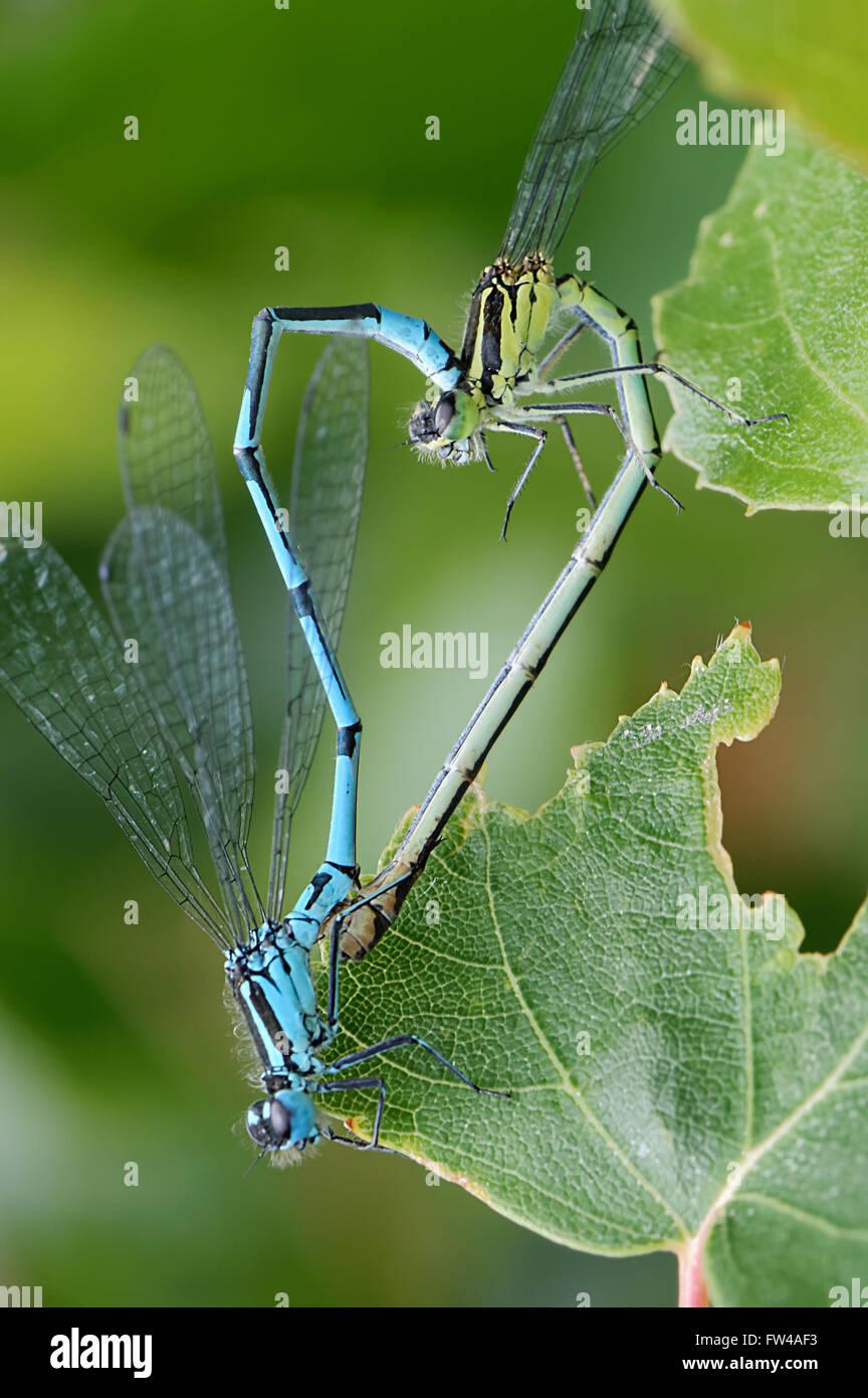 Libellen in Herzform Paarung vor grünem Hintergrund Insekt lieben Stockbild
