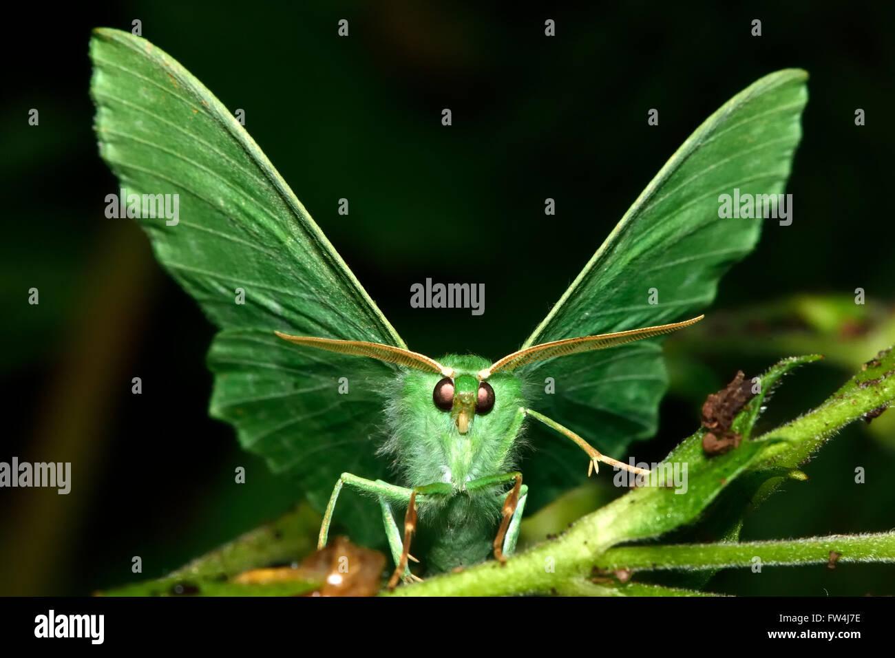 Großer Smaragd Motte (Geometra Papilionaria). Eine beeindruckend grüne Motte in der Familie Geometridae, Stockbild