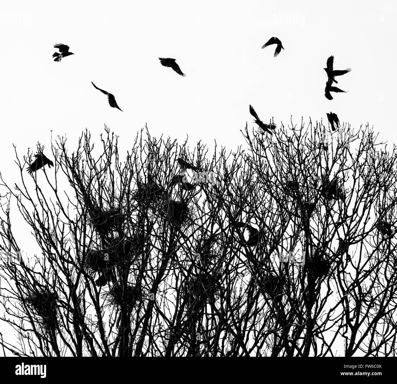 Saatkrähen beschäftigt tendenziell ihre Nester. Stockbild