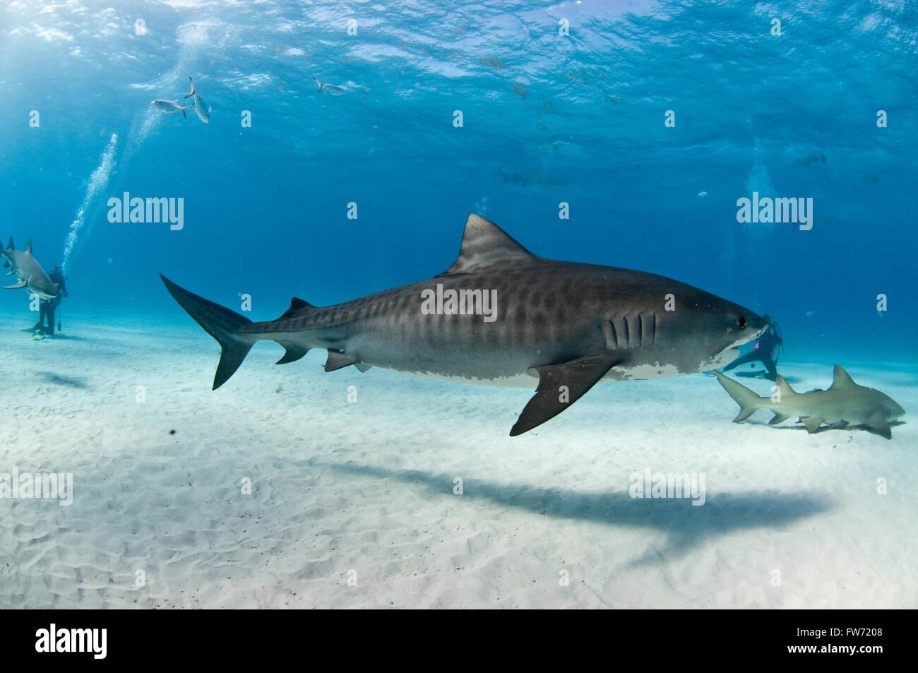 Ein Tigerhai mit schönen Abzeichen Schwimmen unter Tauchern und Zitrone-Haifische. Stockbild
