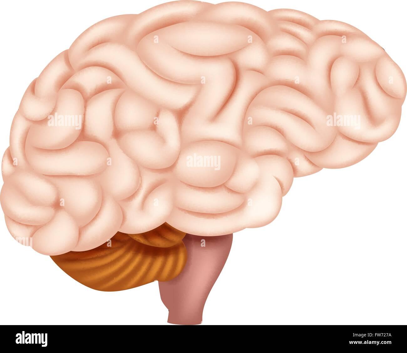 Anatomie des menschlichen Gehirns Vektor Abbildung - Bild: 101573678 ...