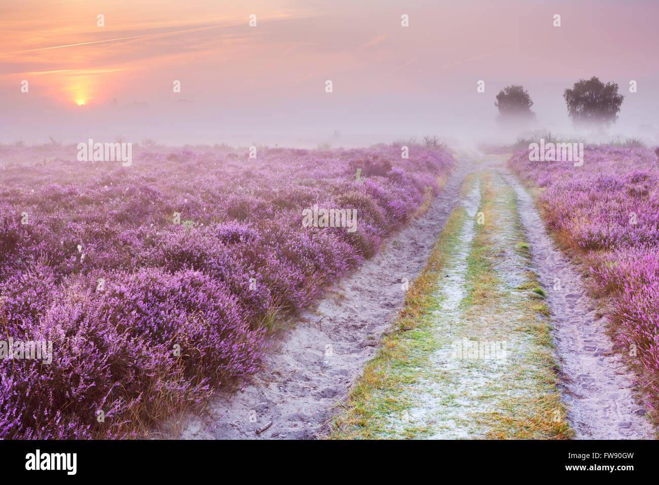 Weg durch blühende Heide an einem nebligen Morgen bei Sonnenaufgang. Fotografiert in der Nähe von Hilversum Stockbild