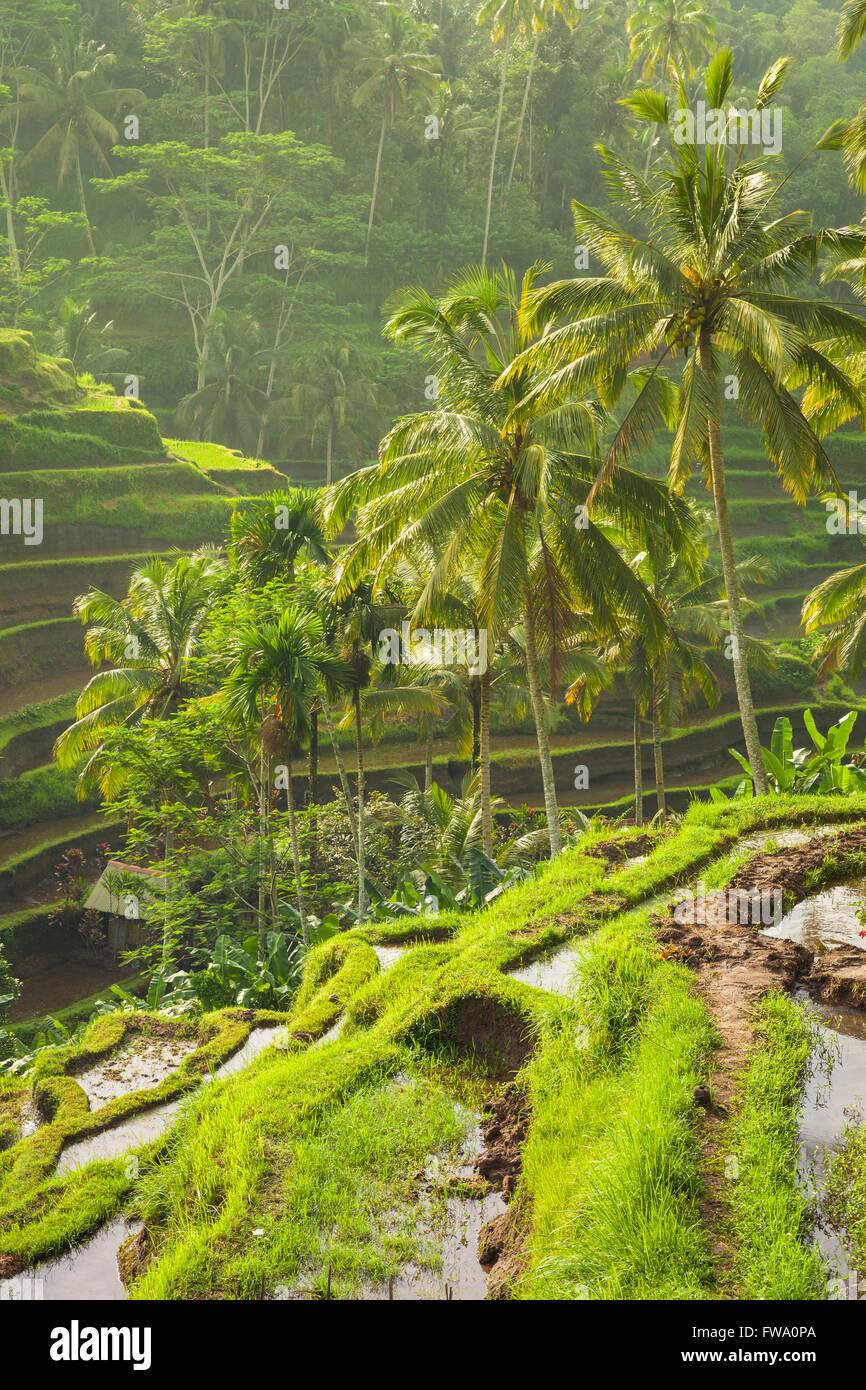 Wunderschönen Reisterrassen in der Moring Licht in der Nähe von Tegallalang Dorf, Ubud, Bali, Indonesien. Stockbild
