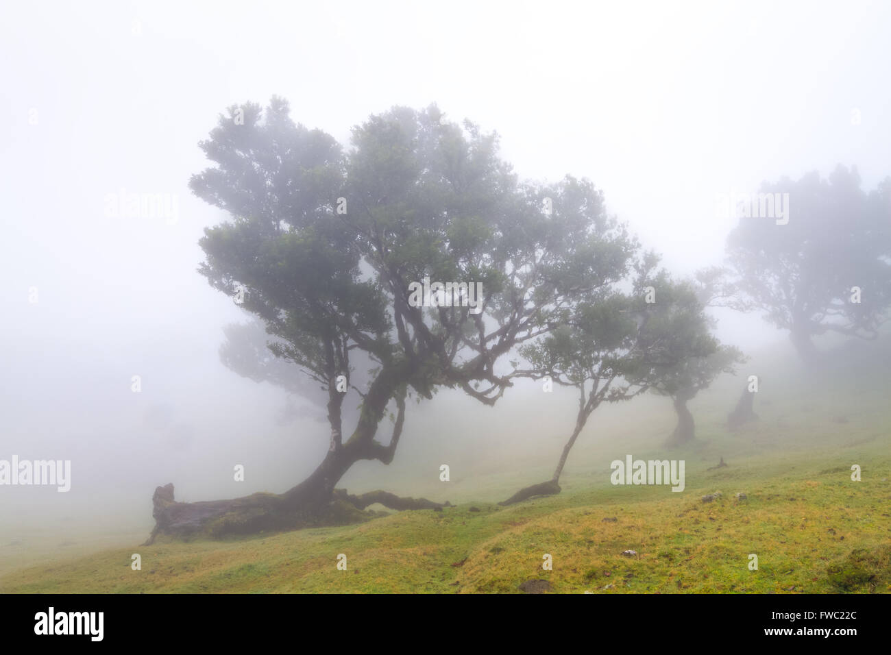 Alten Lorbeerwald im Nebel, Atelier, Madeira, Portugal Stockbild
