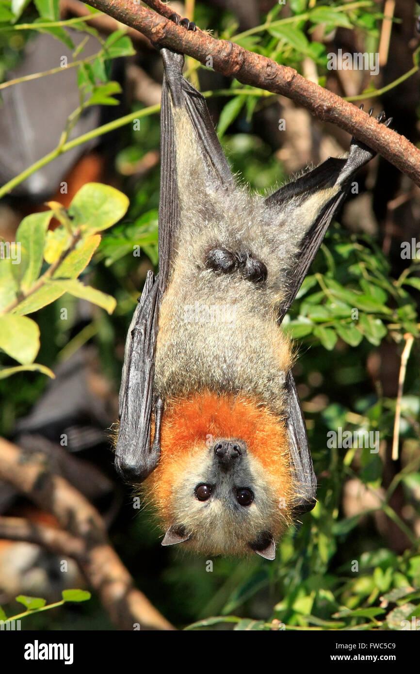Graue Spitze Flying Fox, Pteropus Poliocephalus. Männchen zeigen Genitalien. Stockfoto
